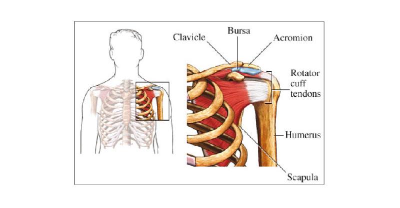 tendones-ligamentos-hombro - Fisioterapia Granada